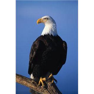 Bald Eagle sitting on perch
